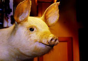 חזיר מדיל אקסטרים